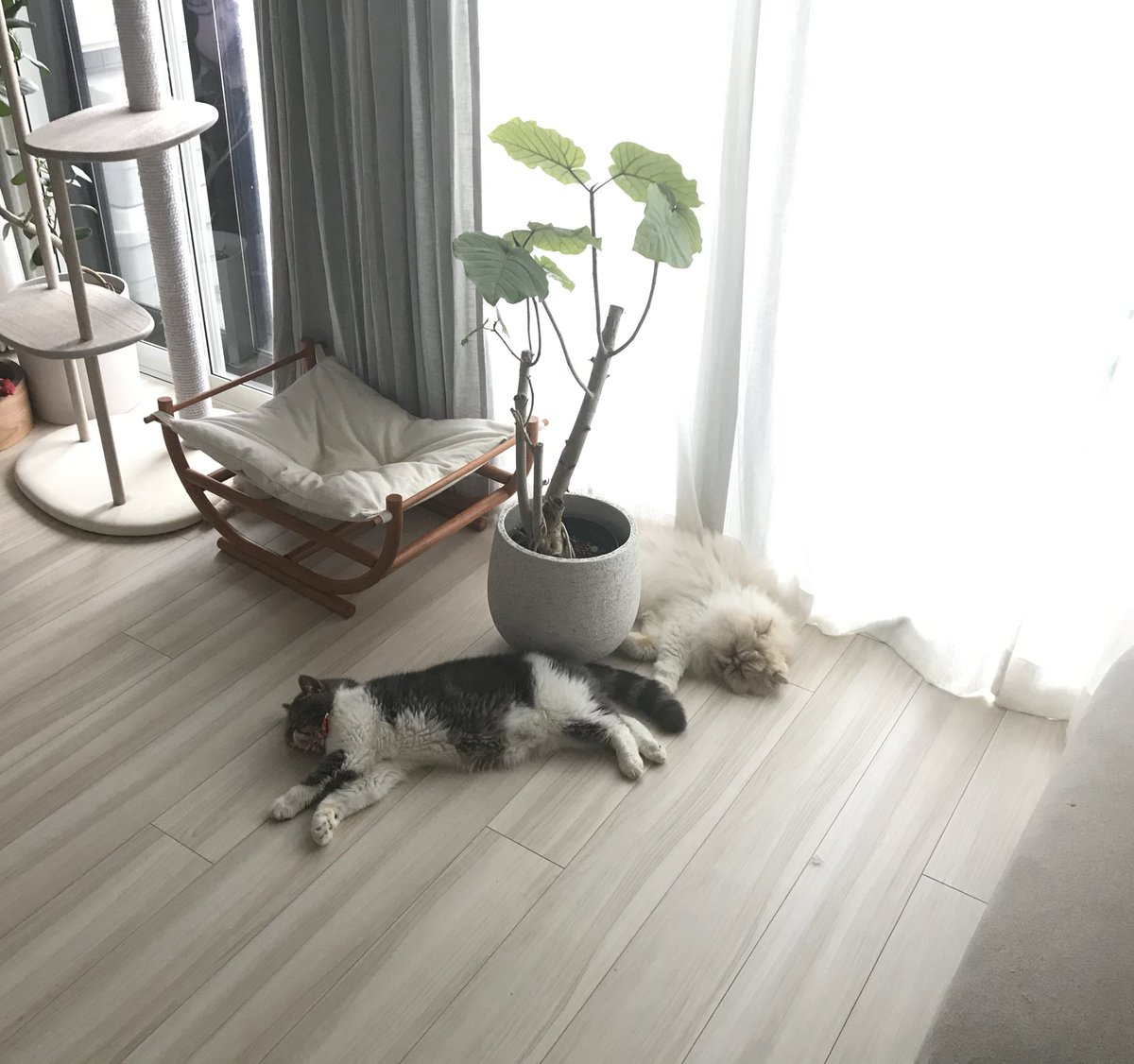 shishimaru「尻尾で遊ぶ猫だよ!  =  I'm a cat playing with a cat's tail!」  #尻尾で遊ぶ猫 #猫 #ねこ #ネコ #にゃんすたぐらむ #エキゾチックショートヘア #ペルシャ猫 #tail #cat #catstagram #catphoto #catpic #catlife #catlove #dailycat #instacat #meow #exoticshorthaircat #persiancat https://t.co/D3VZUTTfpQ