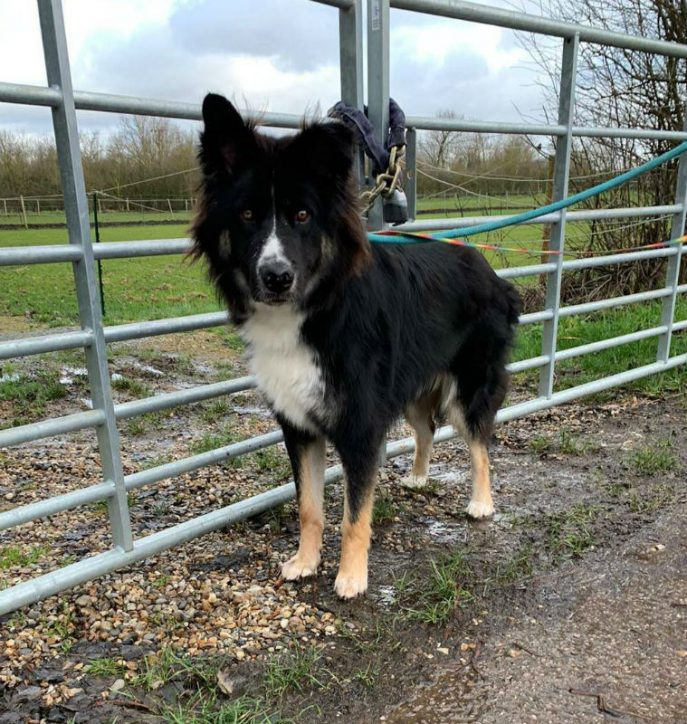 Milo is coming up to 2yrs old and needs a new home please, he can live with older kids but he can get very jealous around other #dogs so needs to be the only pet in the home  #GermanShepherd #Essex  https://t.co/88aVI2EqSe https://t.co/icCKhH3Zmc