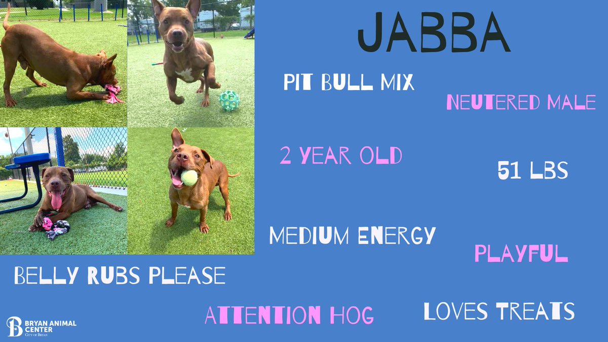 Jabba has been with the us for about 5 months. He is such a sweet boy who loves attention. His favorite games to play are tug-of-war and fetch. Give Jabba the hutt he has always deserved. #BryanAnimalCenter #fetch #pitbull #Playful #pickme #AdoptDontShop #Rescue #Waitingforahome