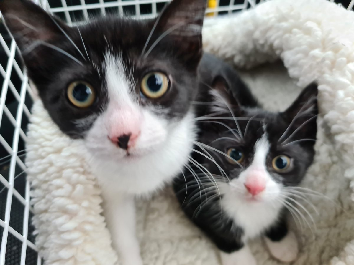 Emily and Thomas are a pair of kittens looking for a forever home together. They are best friends! adoptions@rspca-manchesterandsalford.org.uk https://t.co/Y6AQkIKfeL