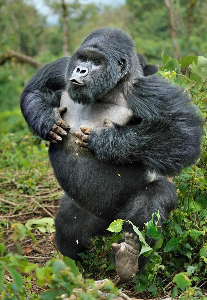 #HappyWorldGorillaDay September 24 marks #WorldGorillaDay, when humanity celebrates one of its closest relatives. https://t.co/Edgj41XRw3 #travel #gorillatrekking #gorillatracking #Gorilla #gorillasafaris #gorillaconservation #gorillasinthemist #travelling https://t.co/cJbjjWuswq