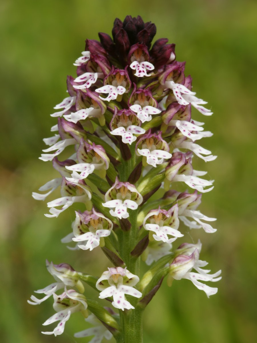 Excited that Jacob Coles is back! Having done his #BSc #Wildlife #Conservation @DICE_Kent, Jacob is doing his research #MSc on #conservation #restoration #ecology of  Burnt-tip #orchid (Neotinea ustulata). In Kent it has decline to only 2 flowering individuals! 📸©Hans Hillewaert https://t.co/nxHH3oo7vP