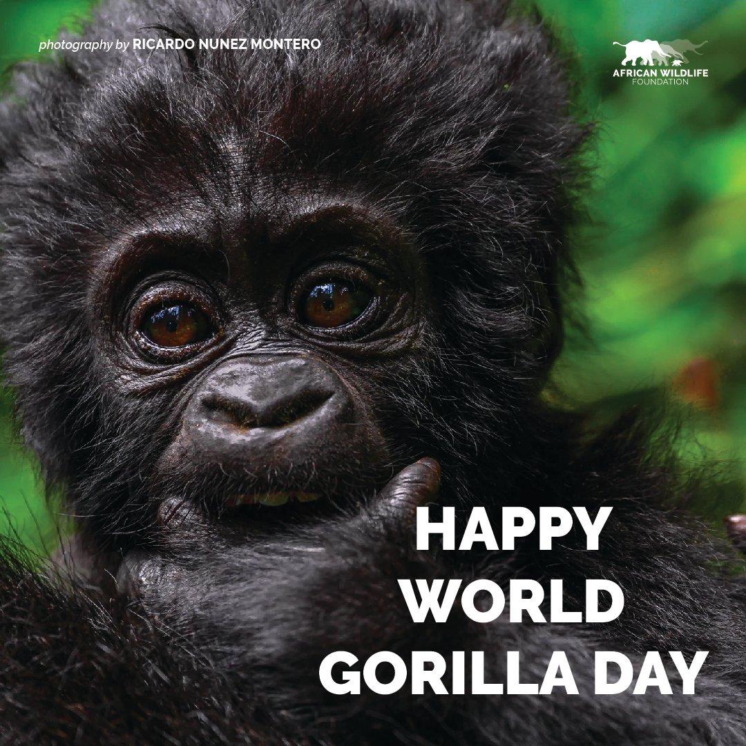 Happy #WorldGorillaDay! https://t.co/GiVuwgQDUS