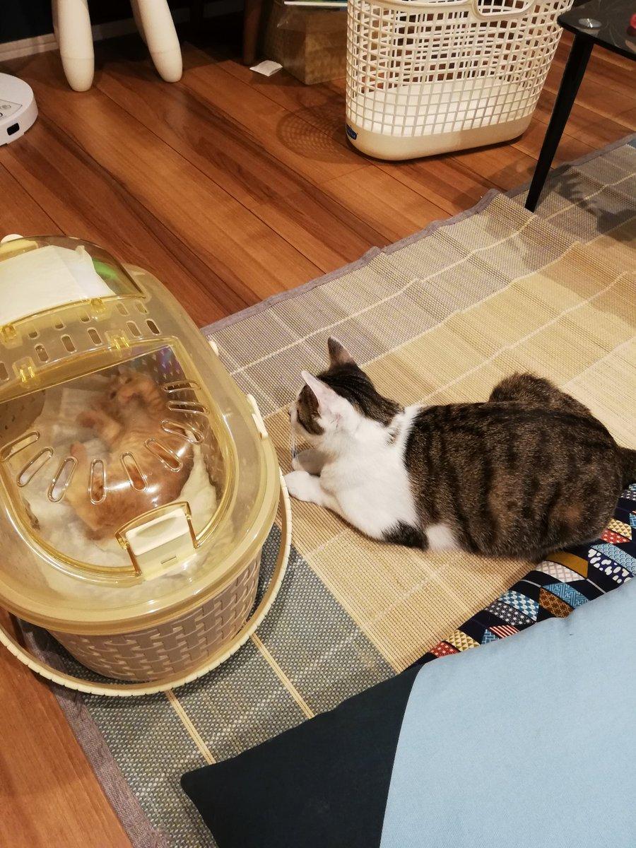 さぁ先ほど来ましたよ!  しかしずっと威嚇してます…子猫の方が肝はすわってそう  #猫の居る生活 #猫好きさんどうぞ宜しく https://t.co/t0PGMilHtN