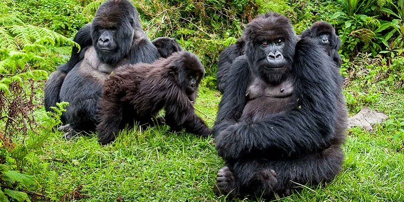 This 3 days gorilla trekking itinerary in Rwanda is an ideal trip for those interested in short gorilla tours in Rwanda. Check out link for details and free quote  https://t.co/Eaz5JIeOIR #3daysrwandagorillasafari #gorillatrekkingrwanda #3daysrwandagorillatour https://t.co/4d7AT6c4Yx