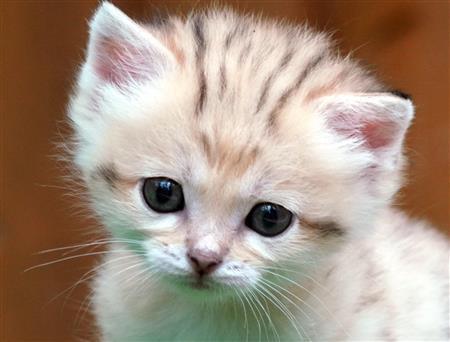 1000RT:【可愛すぎる】「砂漠の天使」スナネコの赤ちゃんお披露目 神戸どうぶつ王国今年8月23日に誕生。生まれたときは約60gだったが、約370gにまで成長した。25日から一般公開が始まる。