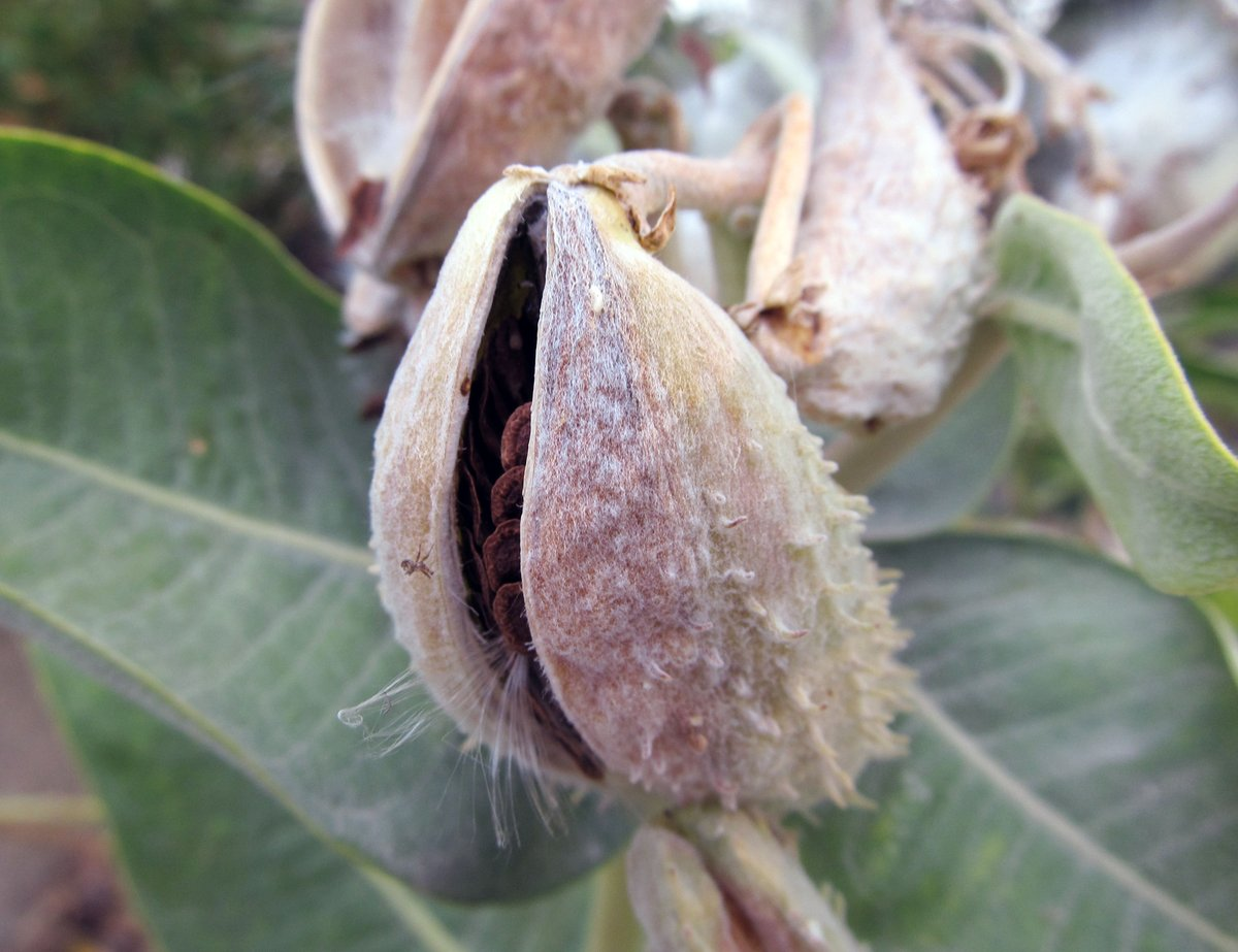 seed pod of showy milkweed just starting to dehisce #Asclepiasspeciosa #milkweeds #phytocurious https://t.co/La2PQTDyyW