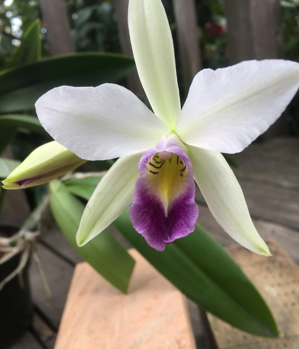 A stunner! Debra VQ's Laelia anceps veitchiana . . . . . . . #orchid #sfos #laelia #orchids #gardeners #greenthumb #gardening #flowerpower #orchidsofinstagram #flowersofinstagram https://t.co/RucmfFSk7G
