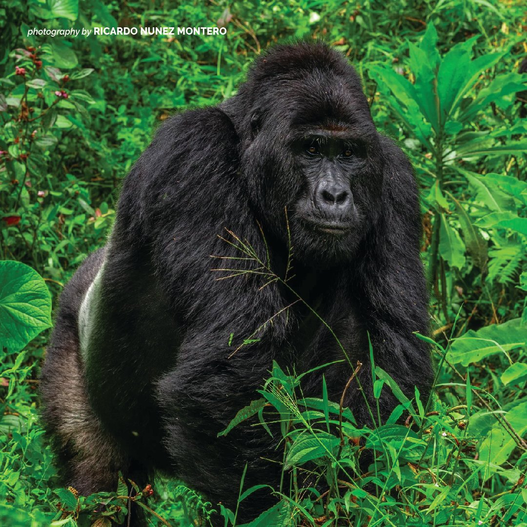 The biggest threats to the mountain gorilla's survival are habitat loss as a result of human encroachment, political instability & forest degradation. Only about 1,000 of these great apes remain in the wild as per the most recent census. #WorldGorillaDay https://t.co/IIVMjwvwgV https://t.co/KGZ52lYo7I