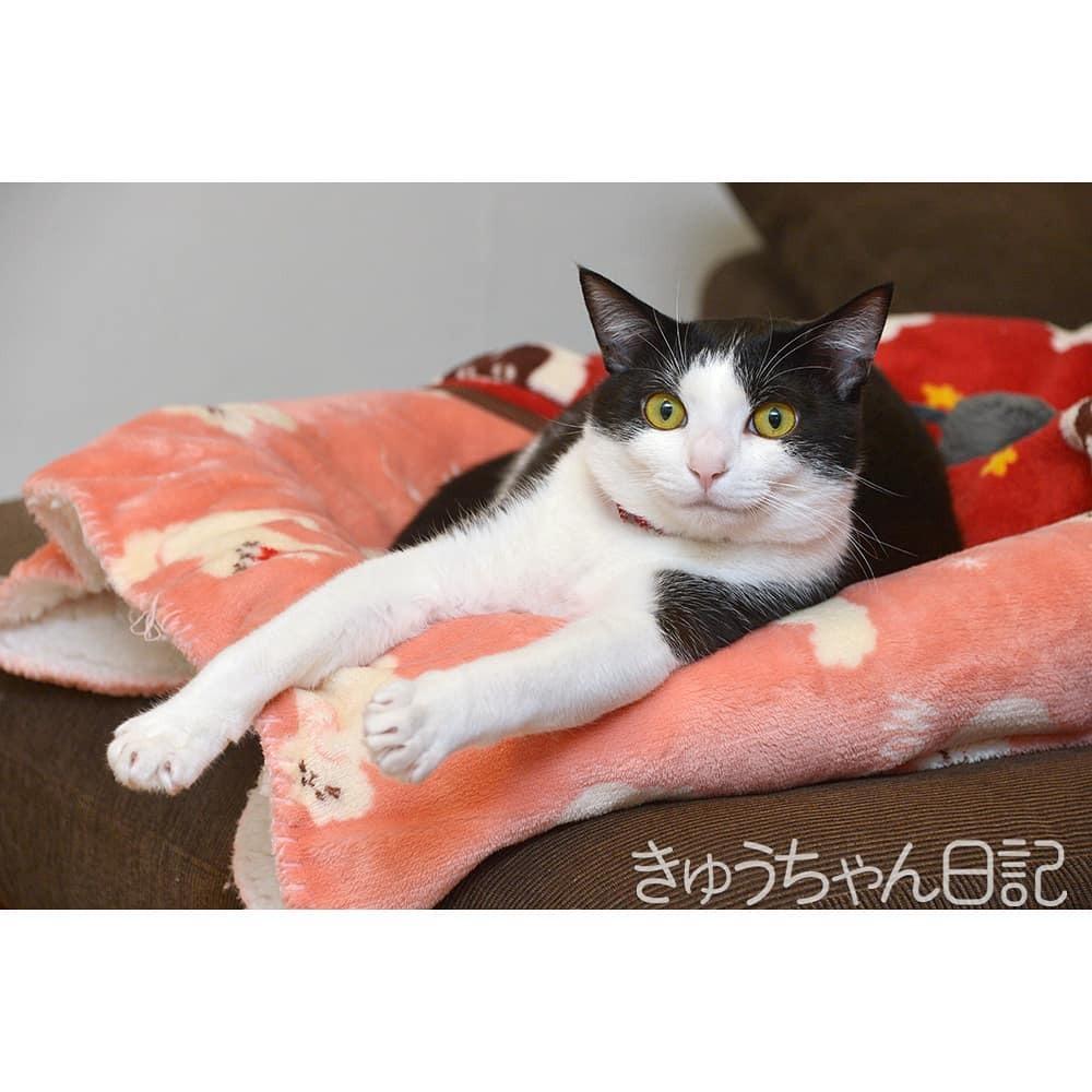 #きゅうちゃん #きゅうちゃん日記 #猫 #ねこ #ネコ #白黒猫 #白黒猫きゅうちゃん #ハチワレ猫 #はちわれねこ #かわいすぎてこまっちゃう #にゃんすたぐらむ #cat #blackandwhitecat #cute #cutecat #catstagram #instacatsgram https://t.co/eEPSH9FxYP https://t.co/phMYMjy1ZM