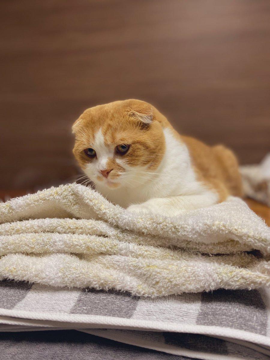 洗い立てのタオルの上に陣取る、切ない顔の子。  #猫好きさんと繋がりたい #スコティッシュフォールド #猫 #ねこすたぐらむ #にゃんすたぐらむ https://t.co/u58FHjkBWD