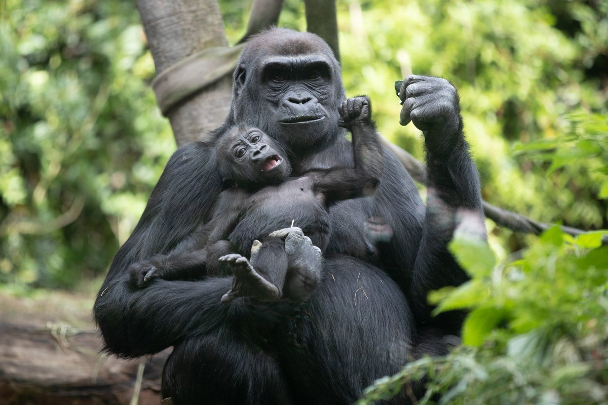 2. Celebrate gorillas with a symbolic animal adoption. Adopt now and help fund #conservation programs and the daily care and feeding of baby Kitoko, mom Uzumma and the rest of our fabulous group of gorillas: https://t.co/DkhFByT7f2 https://t.co/d2txAB8VCP