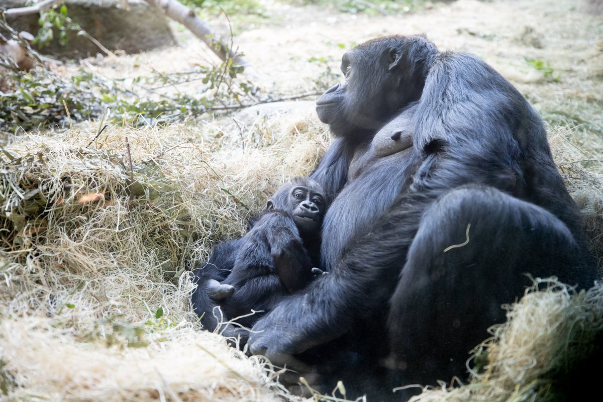 Happy #WorldGorillaDay, thank you for loving them as much as we do. 💜🦍 https://t.co/o9HlpnS5mw