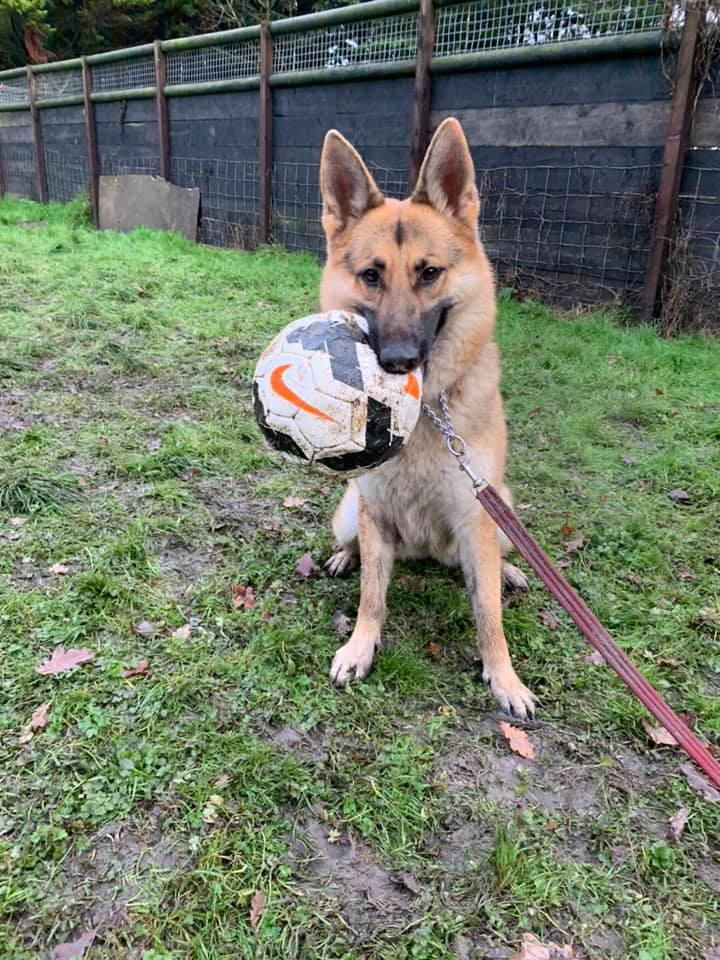 4yr old Hunny has been with us since May 18, she is a sweet but very nervous girl who can live with other #dogs but she really needs a calm and patient home please  #GermanShepherd #Cornwall  https://t.co/3DrYsLVWLC https://t.co/cAE7CVfjah