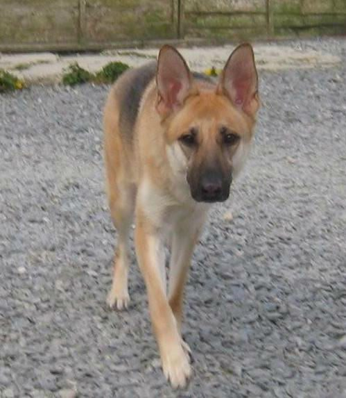 5yr old Kyla came to us in April 17, she is a sweet natured girl with a cheeky playful side but she does need an exp, child and pet free home please  #dogs #GermanShepherd #Cornwall https://t.co/Xbv3vz3ojd https://t.co/1gyCUZDcBT
