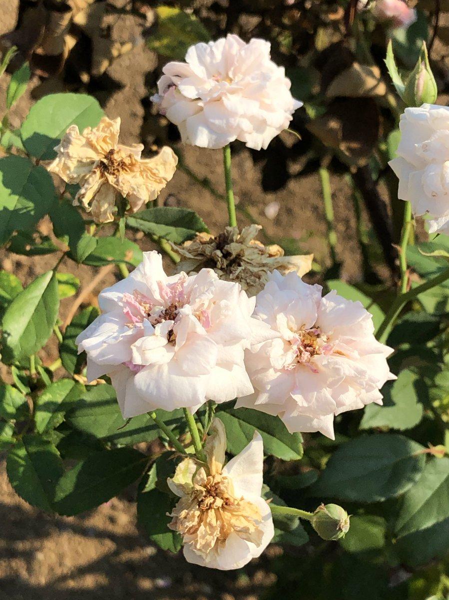 2020/08/15の神代植物公園の薔薇のオールドローズの「セシル・ブリュンナ(Cécile Brünner)」1881年フランス産。  #神代植物公園 #薔薇 #バラ #花 #ParksJindai #rose #roses #flower #flowers https://t.co/6uJbhI5dpG