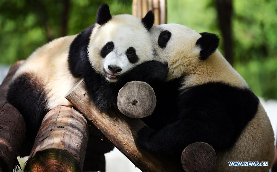Giant pandas are enjoying leisure time at Qinling research center of giant panda breeding in NW China's Shaanxi.🐼🐼🐼 https://t.co/WuMCh60TKO