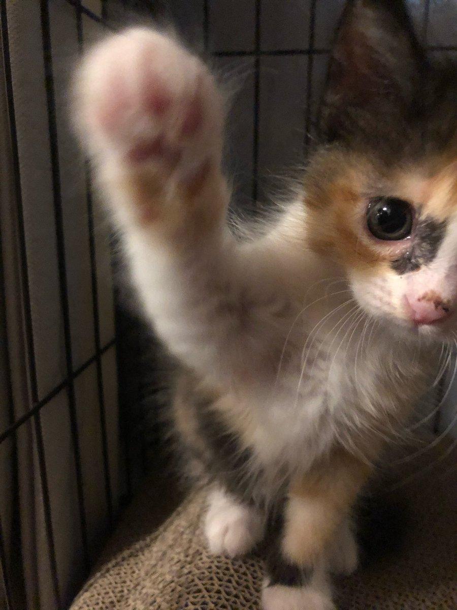 【猫あるある】 ゴロゴロ言いながら撫でられてたのに突如として噛みつく。 #子猫 #猫写真 #猫のいる生活 #猫可愛い #猫あるある #猫好きさんと繋がりたい https://t.co/ekEsA3MNcT