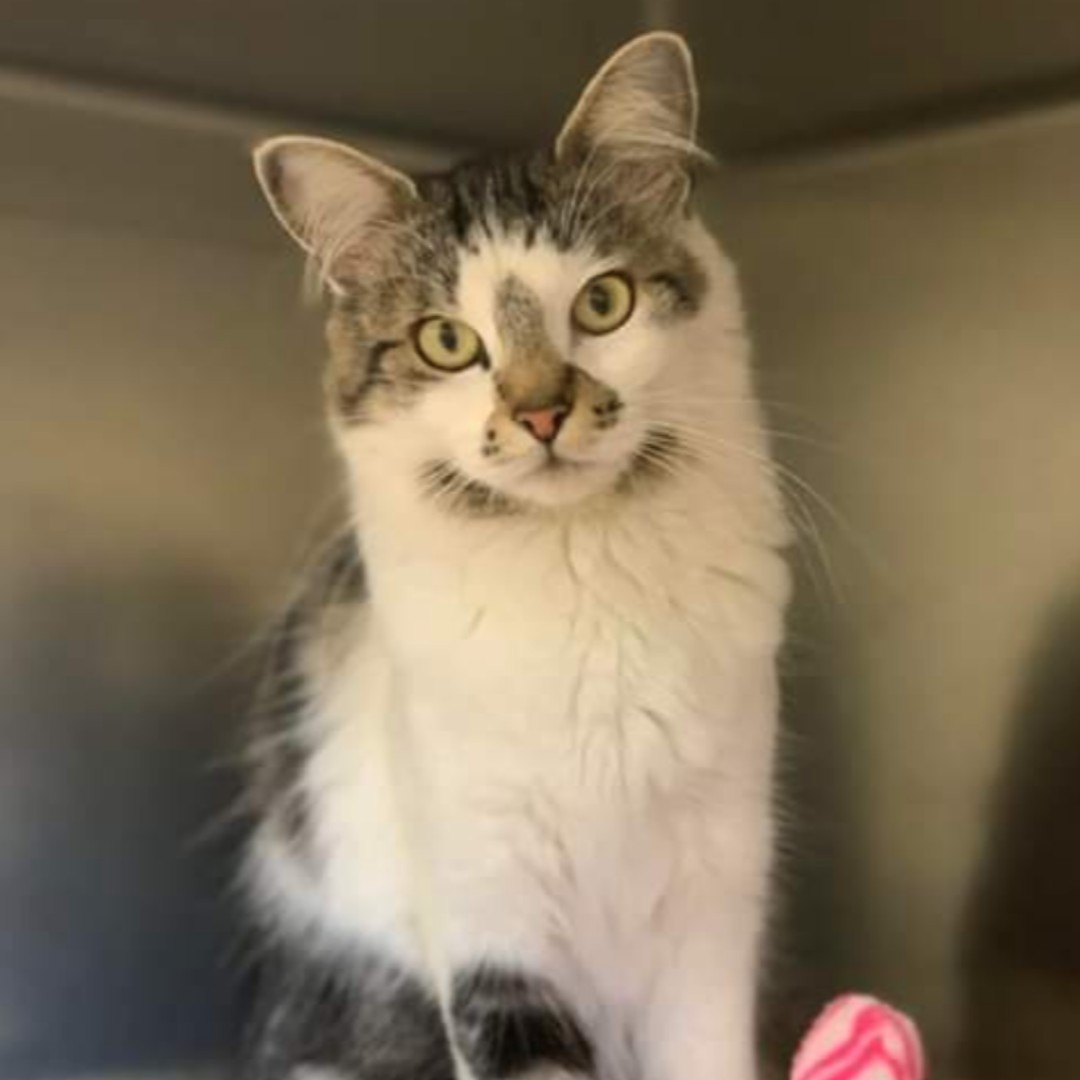 Fluffy is a fun loving girl who is ready to find her forever home! Fluffy would do well in any home with children of all ages. She can be selective with her kitty friends but would love to be your perfect match! https://t.co/al5emy3U9B #meow #adoptme https://t.co/2f8svNTocr