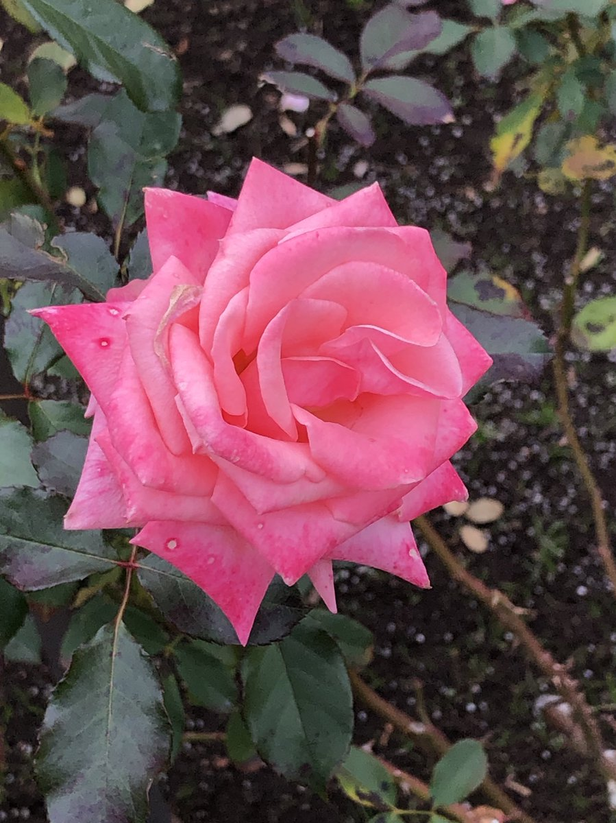 2019/12/07の神代植物公園の薔薇の「アメリカズ・ジュニア・ミス(America's Junior Miss)」1964年アメリカ産をもう1枚。 #神代植物公園 #薔薇 #バラ #花 #ParksJindai #rose #roses #flower #flowers https://t.co/WphckxoKPv