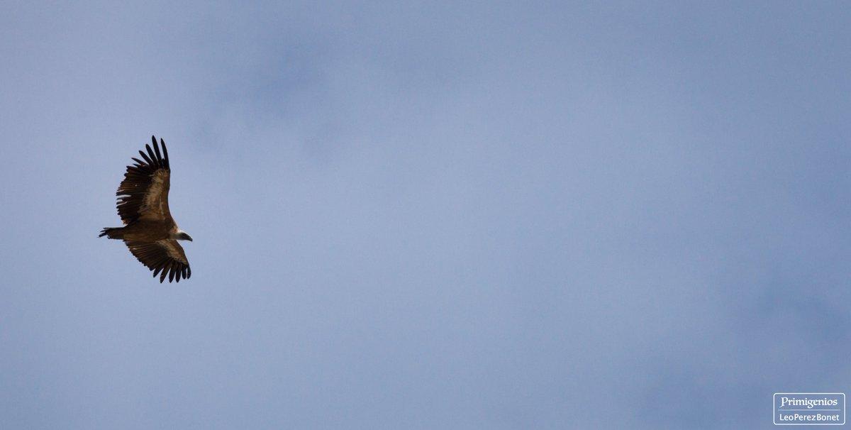 """Flying free I"" La Tosa (2537 m) - Parc Natural del Cadí-Moixeró - Berguedà (2020)  #flyingfree #vultures #free #berguedà #trekking  #niudaliga  #nature #landscape #landscapephotography  #photooftheday #Fashion #Beautiful #Art #Photography #primigenios  #photographer #photos https://t.co/1oWnLK4urG"