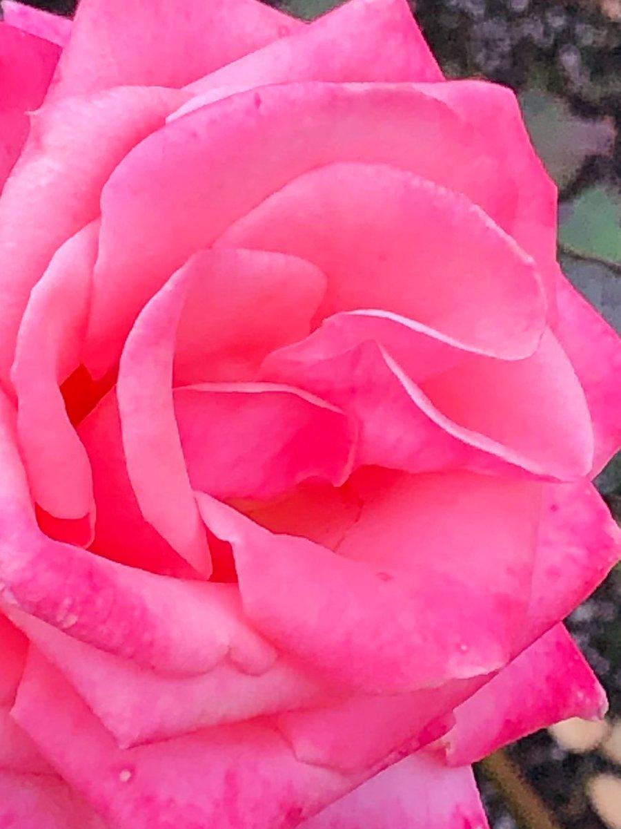 2019/12/07の神代植物公園の薔薇の「アメリカズ・ジュニア・ミス(America's Junior Miss)」1964年アメリカ産をあと1枚。 #神代植物公園 #薔薇 #バラ #花 #ParksJindai #rose #roses #flower #flowers https://t.co/Gqgvj7ylHS