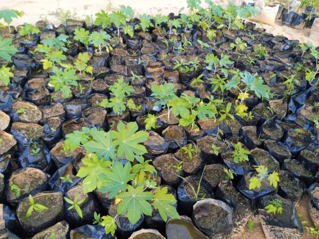 This is one of the #nursary sites of @ACCRECMaiduguri raising #castor & #Jatropha seedling in Maiduguri. The #germination period of castor is 10 to 15 days, The plant will take about 3 months to grow to a height of about 5 feet. At this stage, the plant starts flowering. https://t.co/exR0p1GAvF