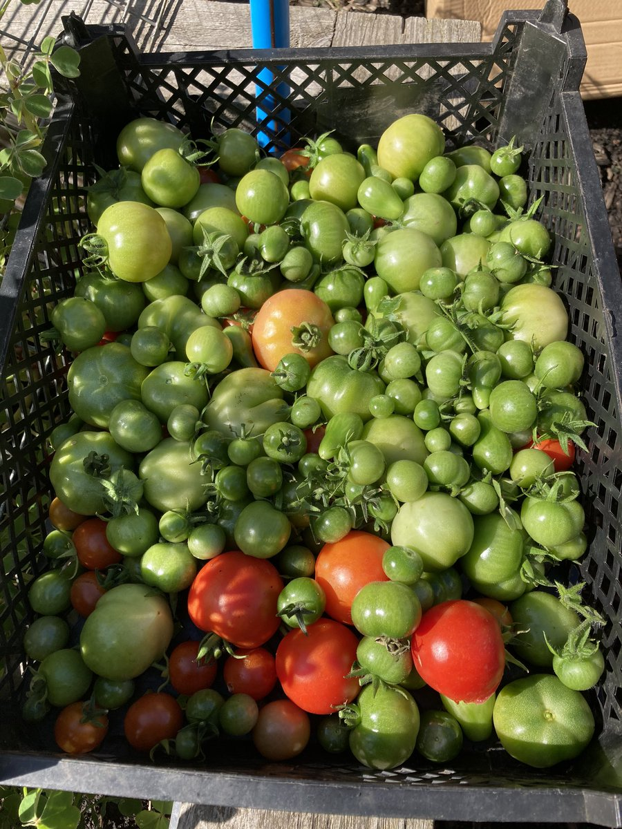 Thurs #volunteering afternoons are busy. Picked our #tomatoes as signs of #blight. Unfurled #dyebundles from the #compost. Dug up more #brambleroots to make space for our newly assembled #gazebo took home #calaloo #aubergines #cucumbers #salad #runnerbeans #dwarfbeans & #chillies https://t.co/XUbTbnFs1h