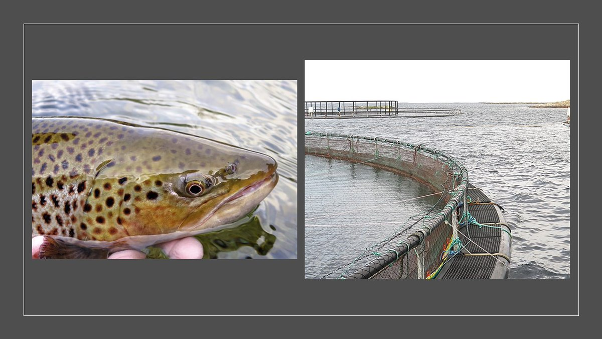 Lice from salmon farms harm wild sea trout by increasing mortality and reducing growth🐟@y_sindre used new chemical methods on sea trout scales to study impacts of aquaculture at Irish and Norwegian sites in his PhD https://t.co/tGAYhsW3W9 #fishsci @DavidsenJanG @ResearchIFI https://t.co/j1pOWmM1Qz