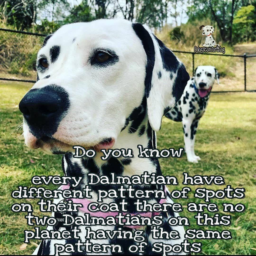 F.A.C.T. 6 Amazing and unique Dalmatians 😍😍. Comment if you agreed!! .  . . Do follow us and share with your friends  ⬇️ ⬇️ ⬇️  @dogscomfortblog   #dalmatians #dalmatianspuppies #dalmatianfact #dogsfact #dogs #dalmatianslover https://t.co/DXGfWxNsTs