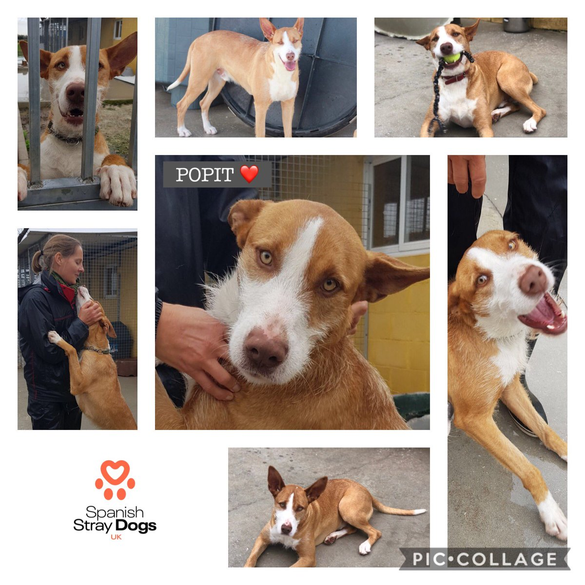 POPIT – Arrived June 2017  Needs experienced owner, cannot be homed with small animals, incl. small dogs. Likes medium/large dogs. Affectionate, love to cuddle on a sofa with best human friend.  https://t.co/Zv0suV7HWV  Adoptions@spanishstraydogs.org  #ForgottenSoulsHour #Podenco https://t.co/pez4ATUHYv