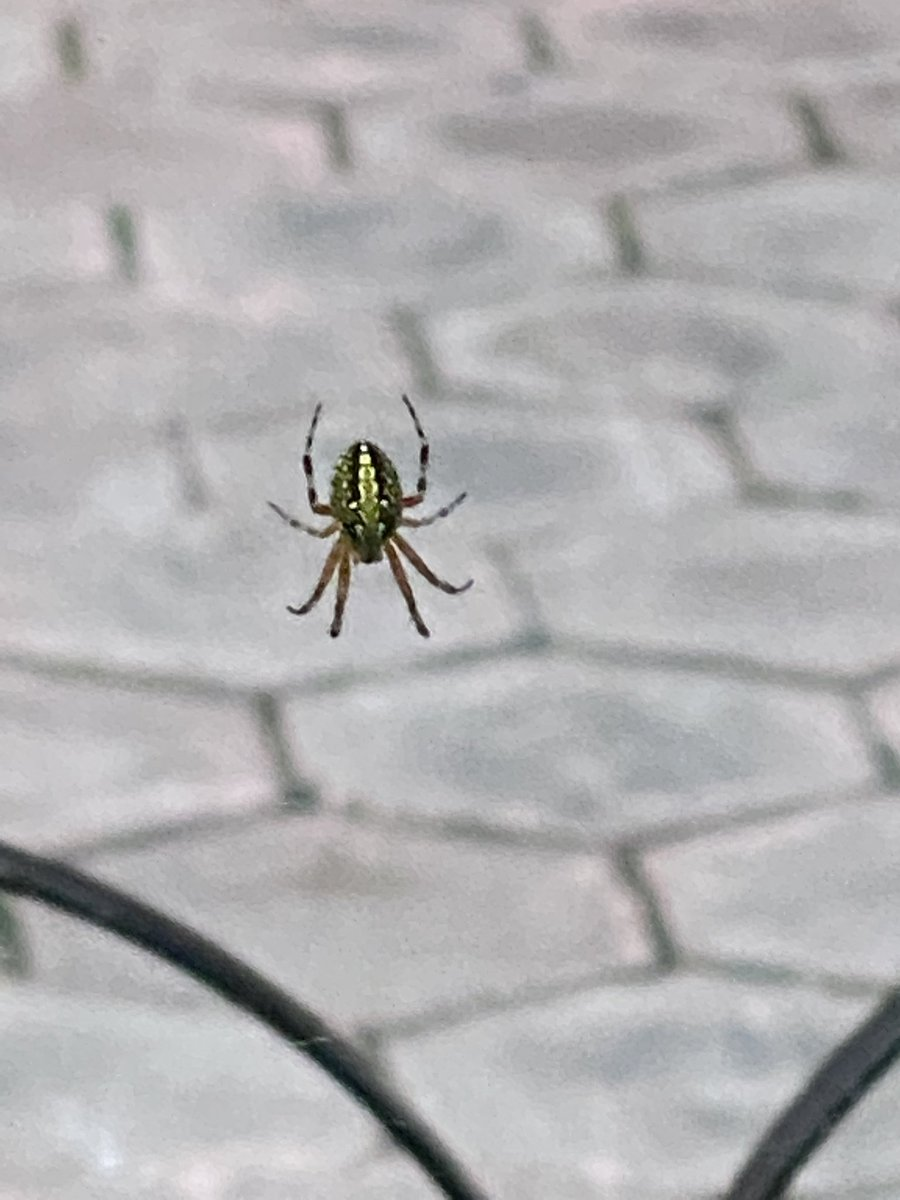 @Arachno_Cosas me encontré esta pequeña en su telaraña aquí en la CDMX...