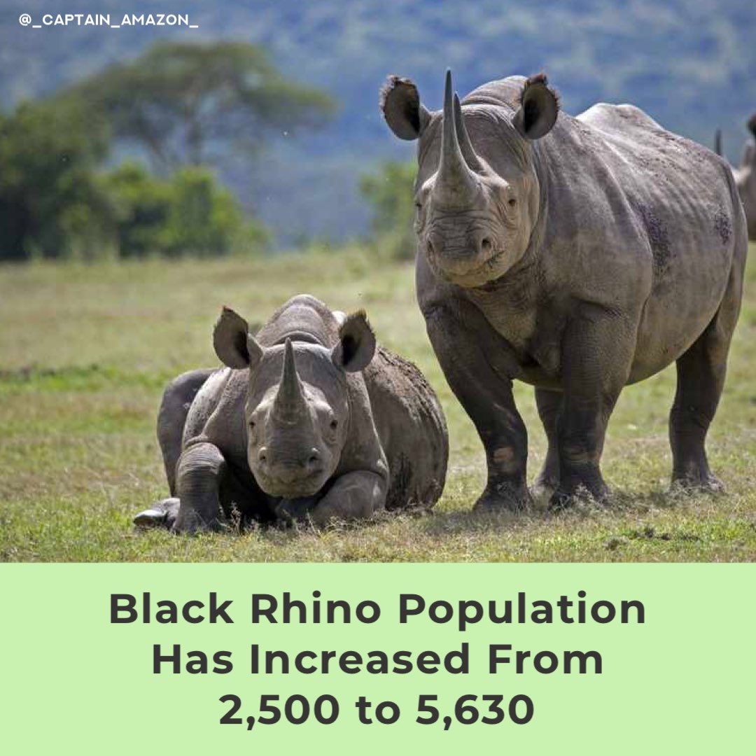There used to be 100,000 black #rhinos in the world, but #poaching nearly made the #species #extinct. But now, thanks to #conservation and anti-poaching efforts, black rhinos are on the road to recovery💚🦏💚 https://t.co/JqesnOw5UR