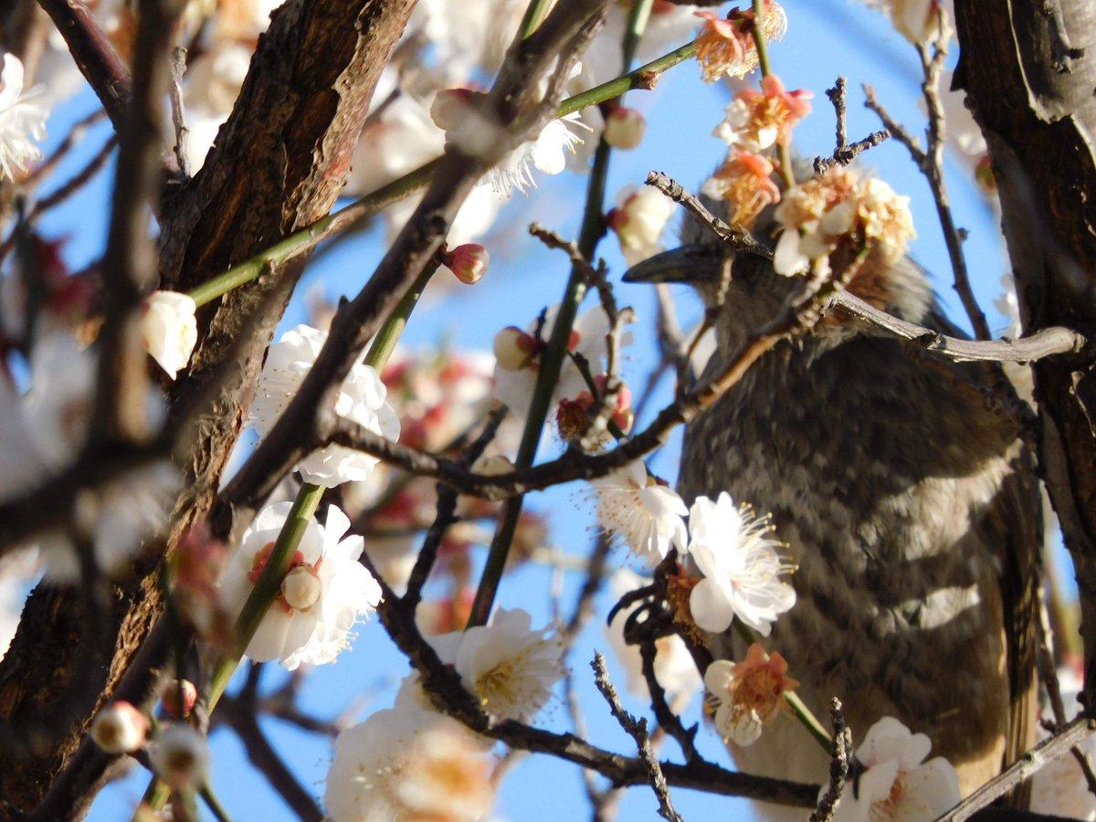 """""""春が来た""""(February 12,2020)  #春  #桜 #さくら #鳥  #写真が好きな人と繋がりたい https://t.co/ELMPl3zfmm"""