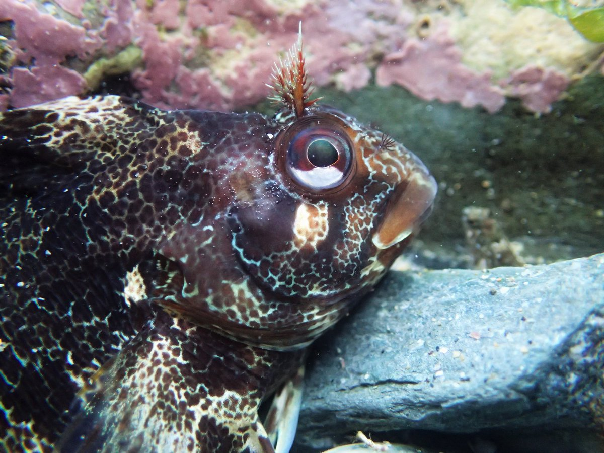 #FUNFACTFRIDAY⭐️ It's Tompot Blenny time! 🐟  Did you know, it's the male Tompot Blenny which guards the eggs? They prepare a crevice for the female to lay her eggs in and then guard them for over a month before they hatch!😍 📸By Shoresearch Cornwall  #Engage #Inspire #Protect https://t.co/STuJQm1L4C
