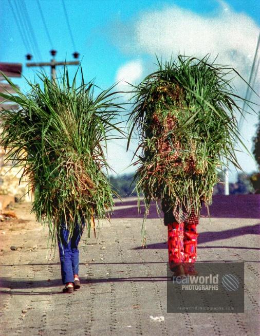 Two men carry alfalfa in down a Panajachel road. Guatemala, Central America. #world #photojournalism #guatemala #centralamerica #canada #sweden #malmo #travelphotography #garymoore #realworldtelevision #documentary #garymoorephotography #denmark #realworldphotographs #nikon https://t.co/lvR1fM8CHg