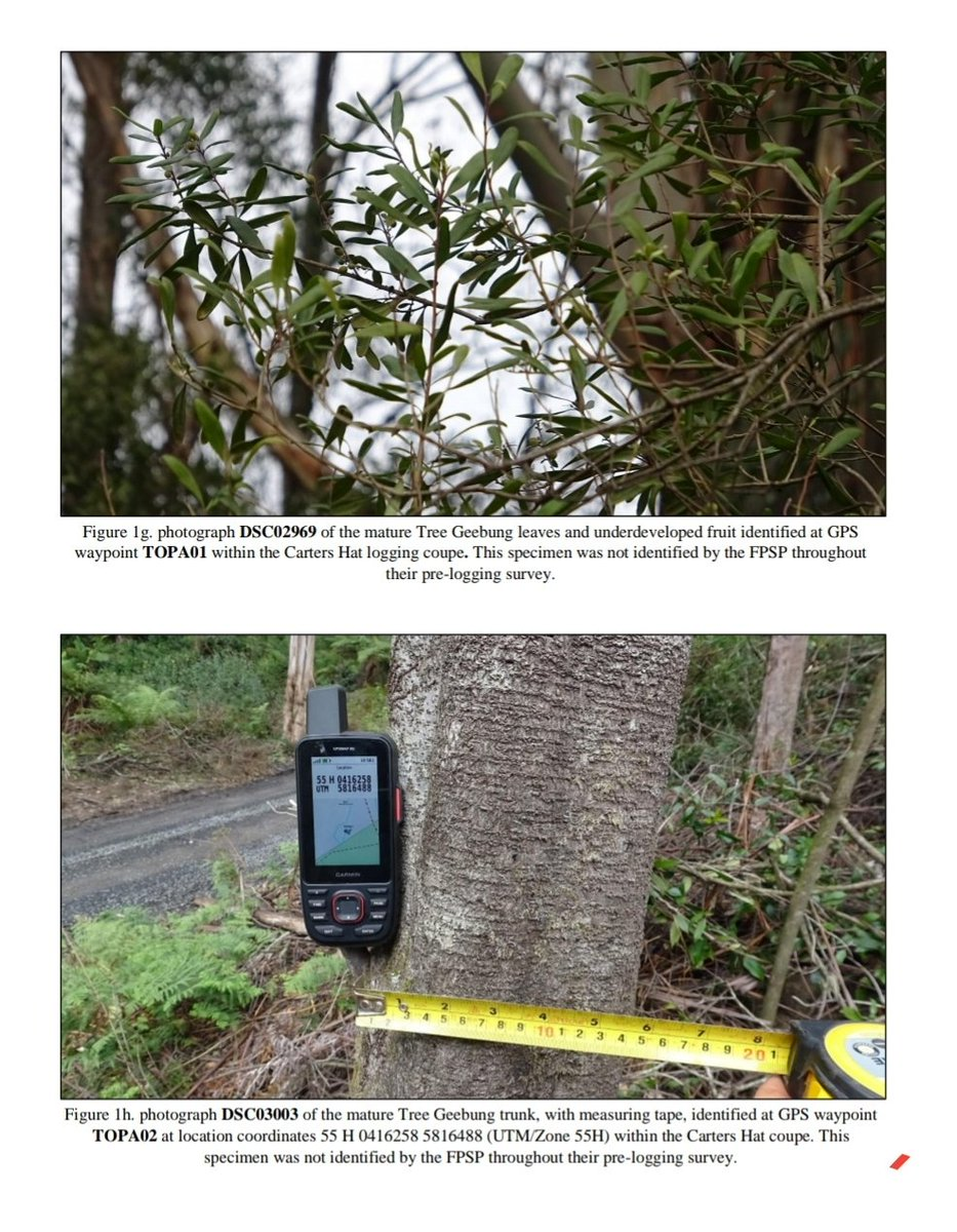At least FPSP found this Tree Geebung before it disappeared.   Warburton Environment surveyors also found two more mature trees in the coupe 'Carter's Hat' which weren't found by the FPSP,  'again showing the gross inadequacy of the FPSP'. https://t.co/lTfDMKyUC4