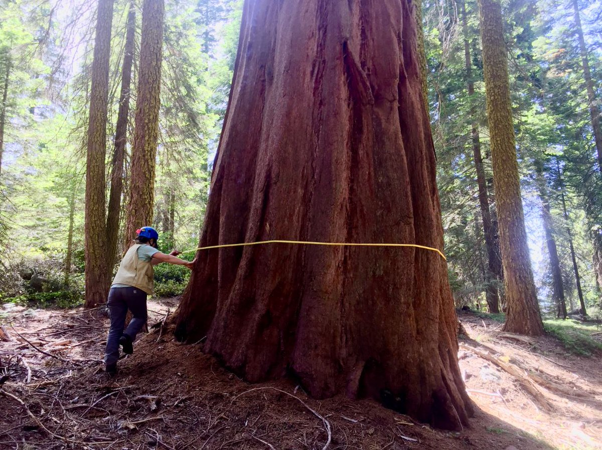 #OnThisDay in 1890, @SequoiaKingsNPS was established. Every 5 years, scientists with the USGS Western Ecological Research Center (WERC) measure the diameter of these giants, not only for determining the size of the trees but also for tracking tree growth rates. https://t.co/7kggc7Sd93