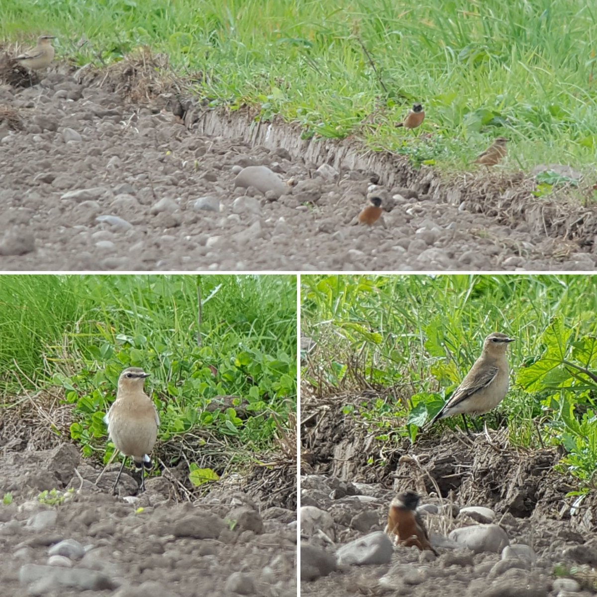 Another great day at Smestow with Wheatear, Winchat & 5 stonechats (3m) at Ebstree farm. (f) stonechat at Trescott. 2 yellow & another (m) stonechat near sewage wks, 65 stockdoves 4 buzz kestrel & sparr @Staffsbirdnews @TheMoorehen @BirderGaz @gwrsv https://t.co/5x4JGaMZ6V