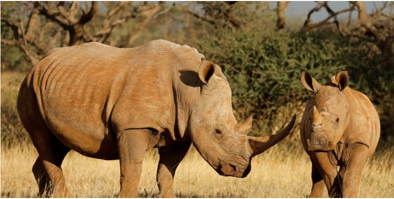 "The South African government, conservation organizations & local communities have decided to pool their efforts under a ""Wildlife Zones"" initiative to strengthen the protection of rhinos from poachers https://t.co/pYGmokYM9j @environmentza https://t.co/8wchqIsLEZ"
