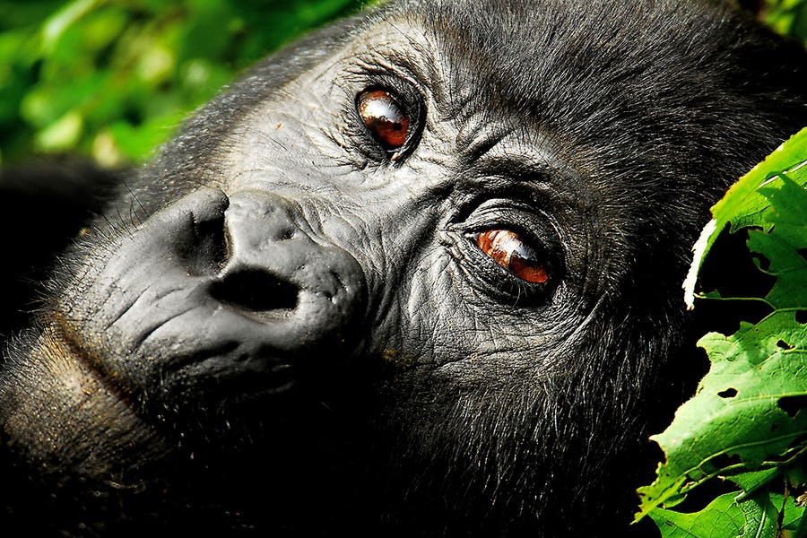 From as low as $2500 book this 3 days Rwanda gorilla tour and have a lifetime experience in the Volcanoes National Park https://t.co/WOJsnHF8cm #3daysRwandagorillatour #gorillatrekkingRwanda #3daysgorillatourRwanda https://t.co/taP8aetsfA