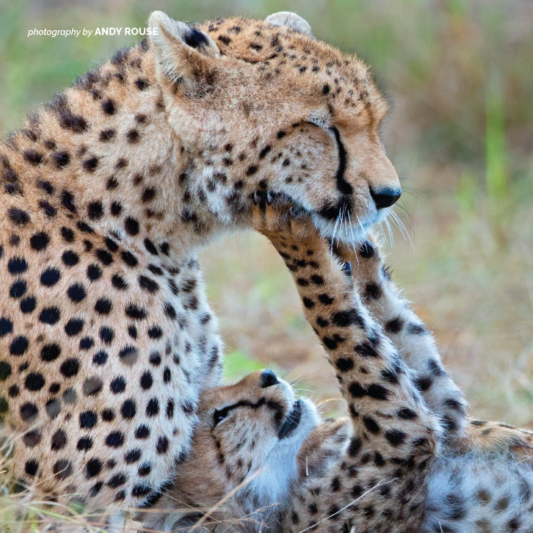 Only about 5% of cheetah cubs survive to adulthood. As the cubs grow, the mother teaches them how to hunt and other essentials. Cubs will stay with their mothers for one and a half to two years. Learn more https://t.co/XFDsfWvRIG https://t.co/SgdiXhdXcM