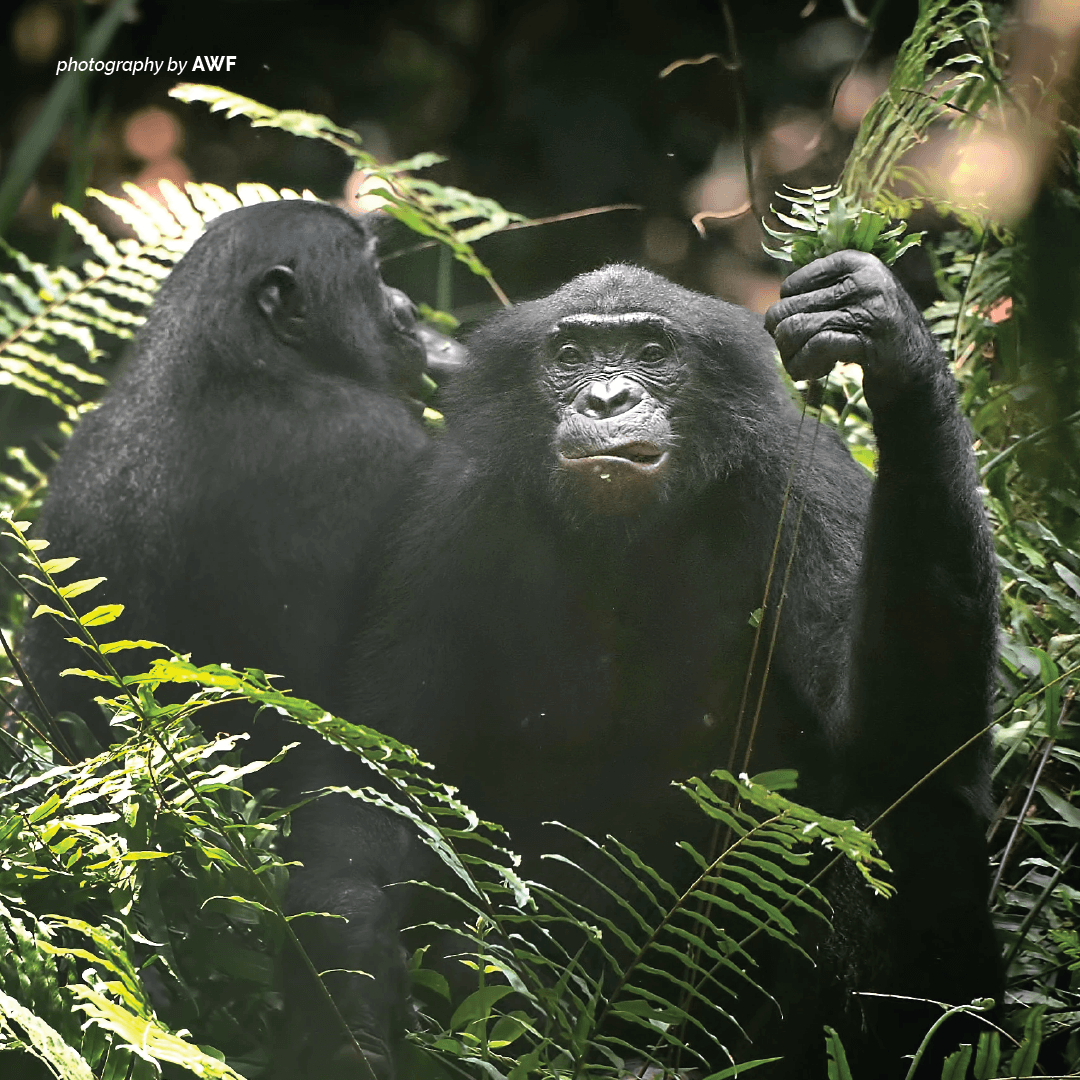 Bonobos are endangered and can only be found in the Democratic Republic of Congo (DRC). https://t.co/e6V97WI54z https://t.co/OmeG5vCPoQ