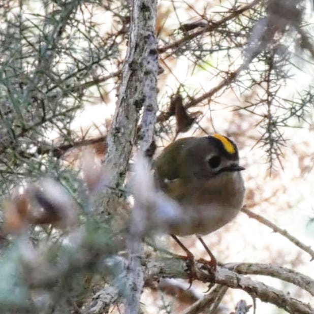 Walk to the Chapelton Wetlands. It's been a while since we were last there. Spotted a #Goldcrest on our way home, singing her (?) wee heart out. What a  beauty...  #Wildlife #RSPB #BirdWatching #Birdsong #Goldcrest #Moray  #rspbscotland https://t.co/KUzBoE6oCR