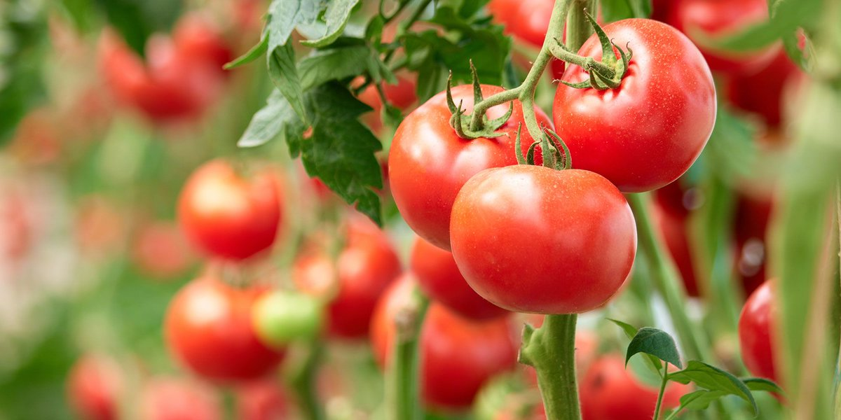 All this warm weather means more #tomatoes ripening on the vine.  Here's a @NAITCulinary expert's advice on what to do with them all https://t.co/q1CPu6xxaq #yegfood #NAIT https://t.co/aem90OhBMn