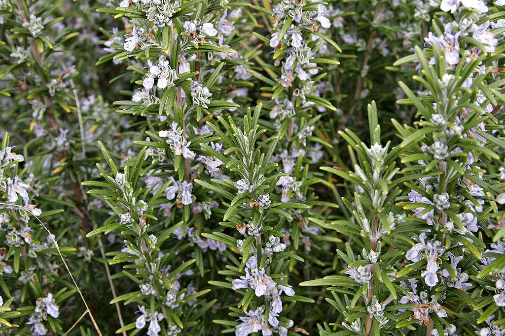 "The herb #Rosemary has a fun #etymology. Many suppose it's Mary's rose, in honor of the mother of Christ. Not even close! It's a #folketymology version of the Latin name of the plant, ""ros marinus"" or sea fog, from its grayish look on Mediterranean shores. 📷 Wikimedia Commons. https://t.co/LfA08Xhroj"