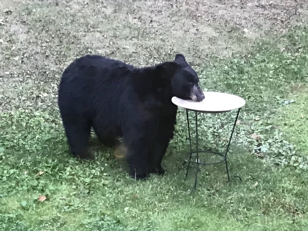 my mom just sent this photo of a bear in her backyard & i am LOSING IT https://t.co/KF16JS99MK