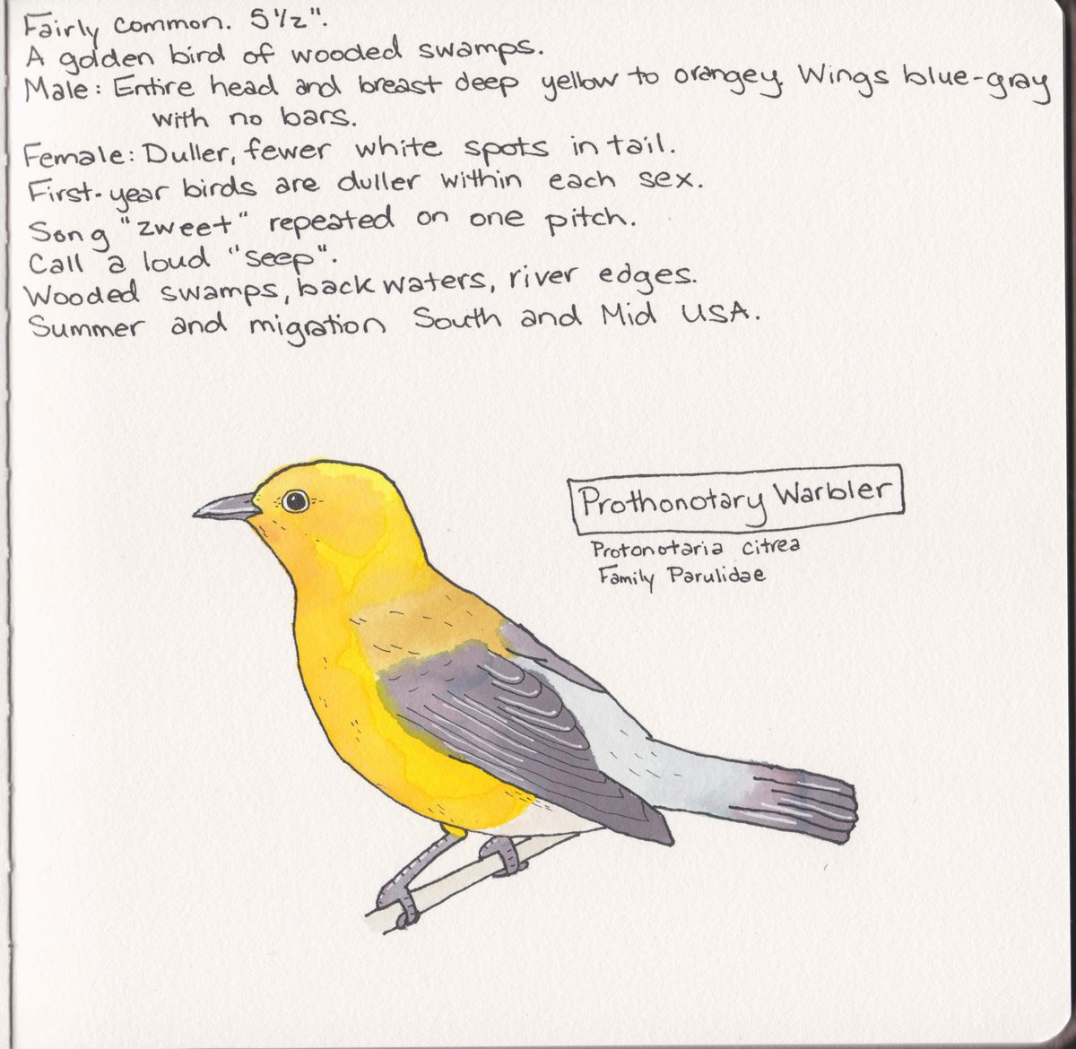 0057 - Prothonotary Warbler  So yellow. So bright.  #birds #BirdTwitter #watercolor https://t.co/hhvAvStK0m