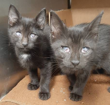 Help! Two black kittens A2101003 and A2101004 at the #FortLauderdaleFL shelter have eye conditions partially resolved but need rescue & further treatment! If you can help please email: rescue@broward.org Pledge for rescue! VERY URGENT!  https://t.co/YVtofUuTxB https://t.co/tPnCivwFVb