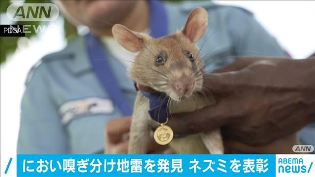 【凄い】においで地雷発見、人々救ったネズミを表彰 カンボジア慣れないメダルを掛け、ソワソワした様子のアフリカオニネズミ「マガワ」。これまでに39個の地雷と28個の不発弾を見つけた。